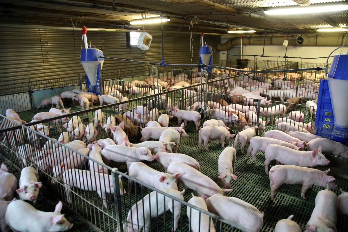Pigs on Farm