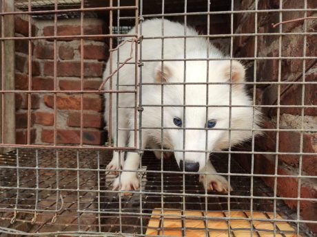 fox in wire cage