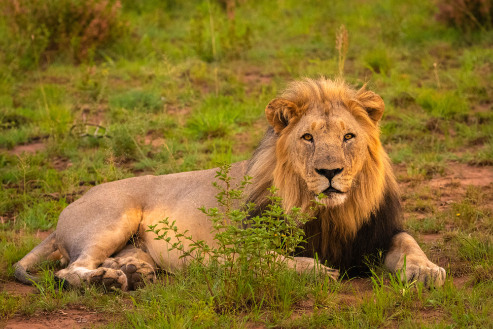 Petition: Protect African Lions from Trophy Hunters!