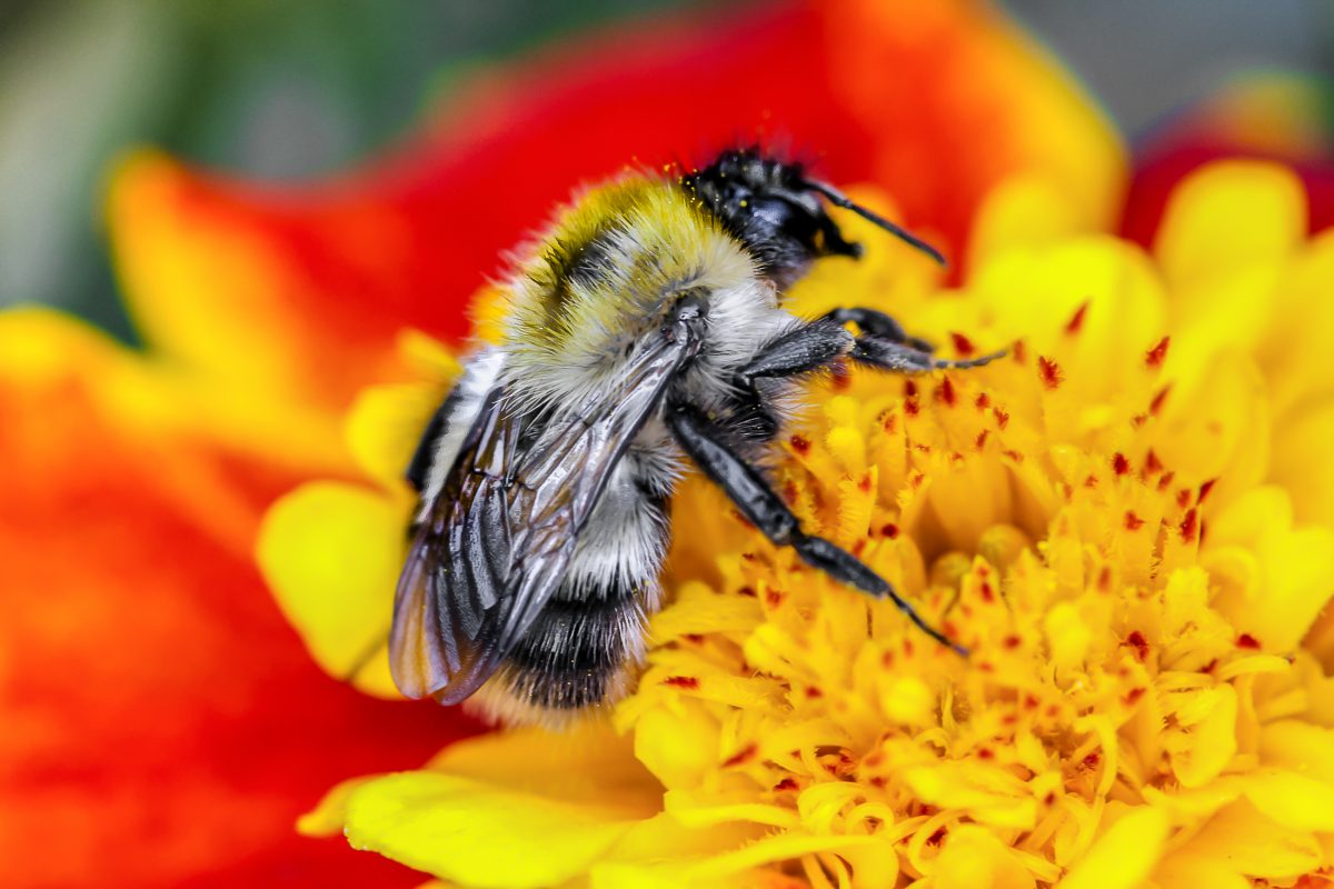 New Study Shows Bumblebee Populations Have Reduced by 30 Percent Due to Climate Change - One Green Planet