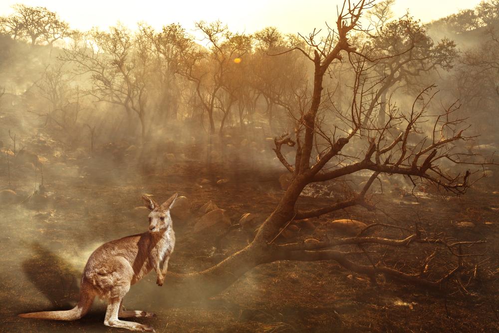 koala in front of devastation