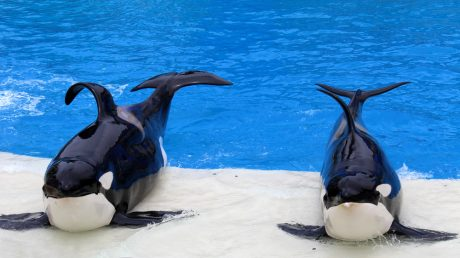 Captive whales with collapsed fins