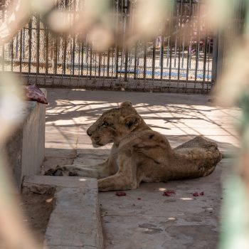 lion starved
