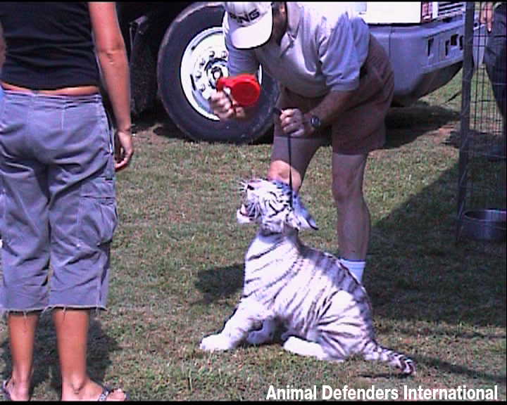 Tiger For Circus