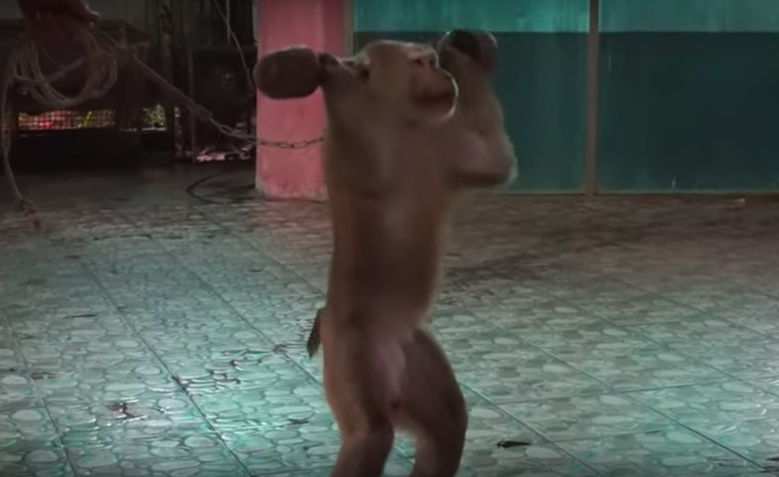 ning nong, monkey forced to lift weights