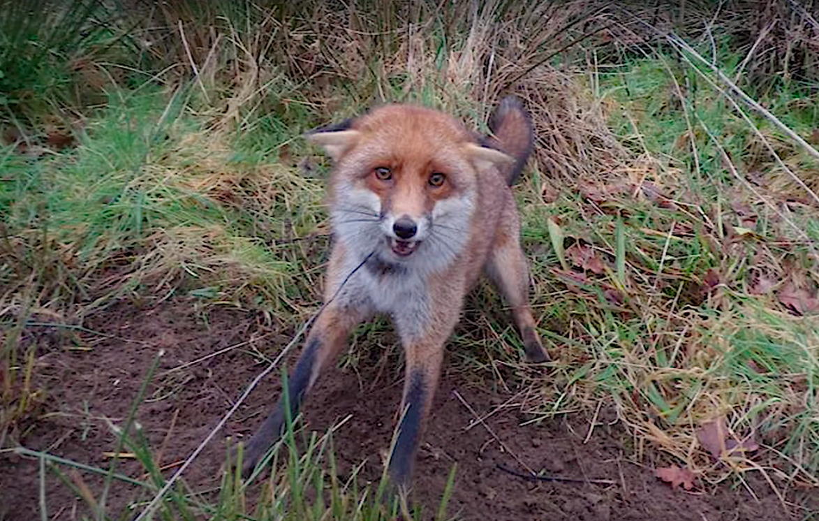 Man Snares and Bludgeons Foxes to Death in UK National Park to Sell Fur to Sweden