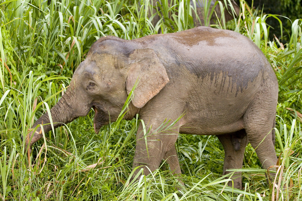 Petition: Save Endangered Pygmy Elephants From Poachers