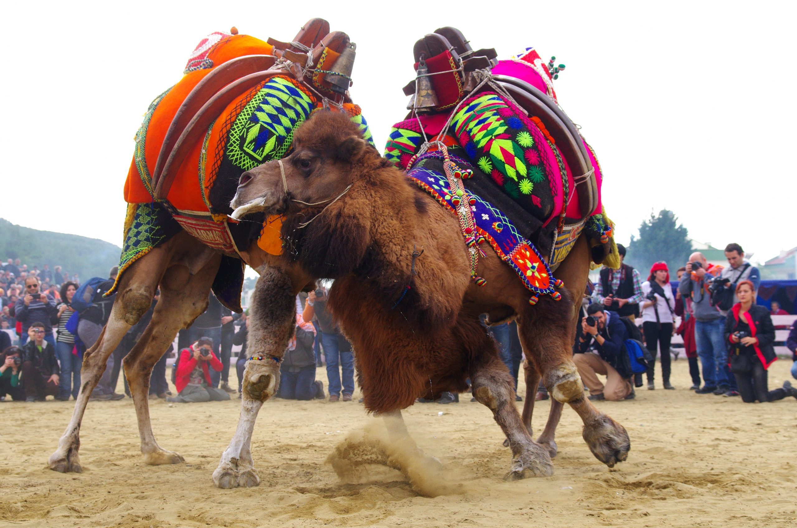Camels are Made to Dangerously Wrestle in Turkey While Spectators Cheer and  Eat Camel Meat - One Green Planet