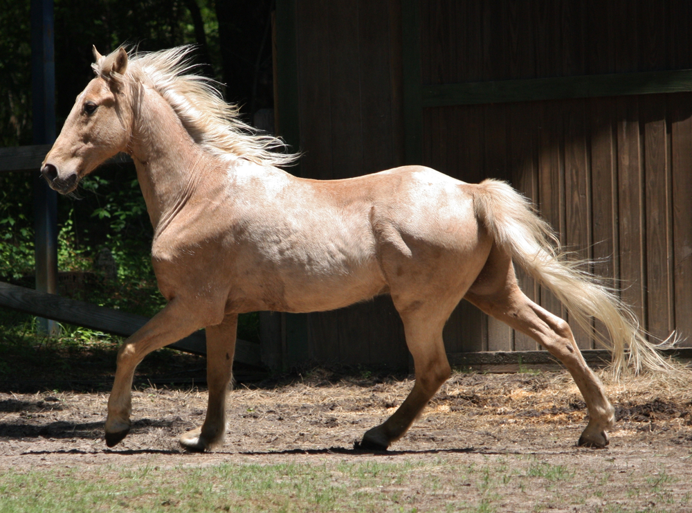 Tennessee walking horse