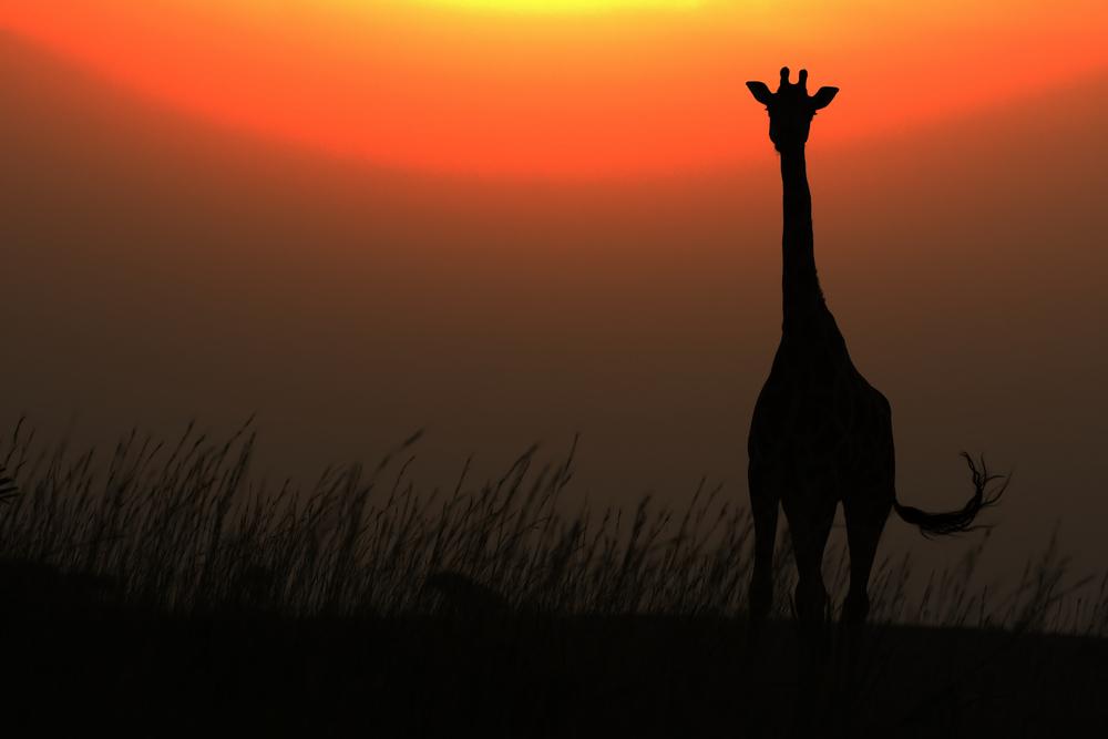 giraffe silhuoette