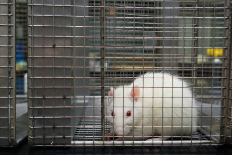 rat in lab