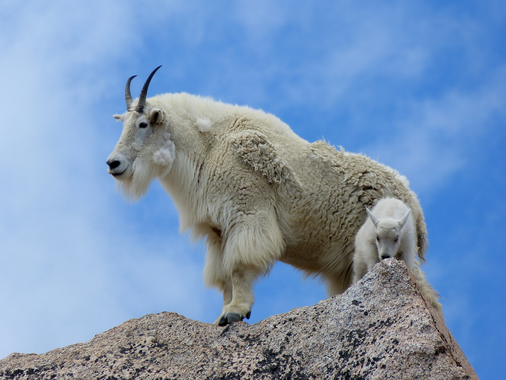 Petition: Stop Culling Mountain Goats in U.S. National Parks