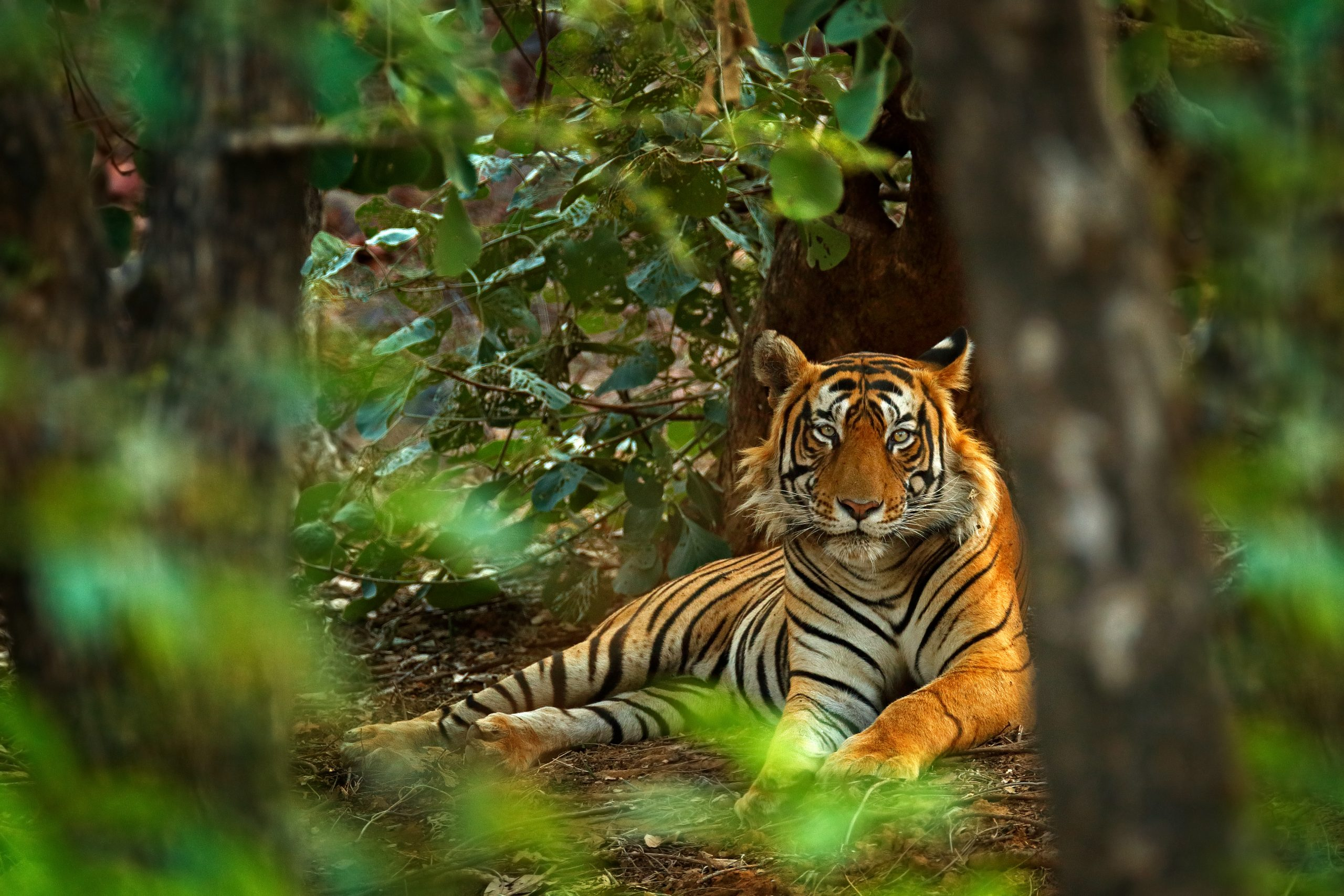 Petition: New BBC Show Uncovers Urgent Tiger Trafficking Crisis in Southeast Asia
