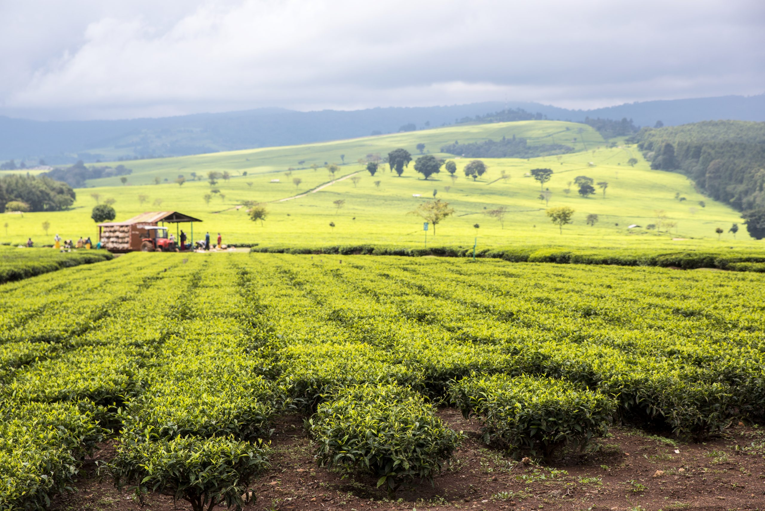 Kenyan Tea Farm