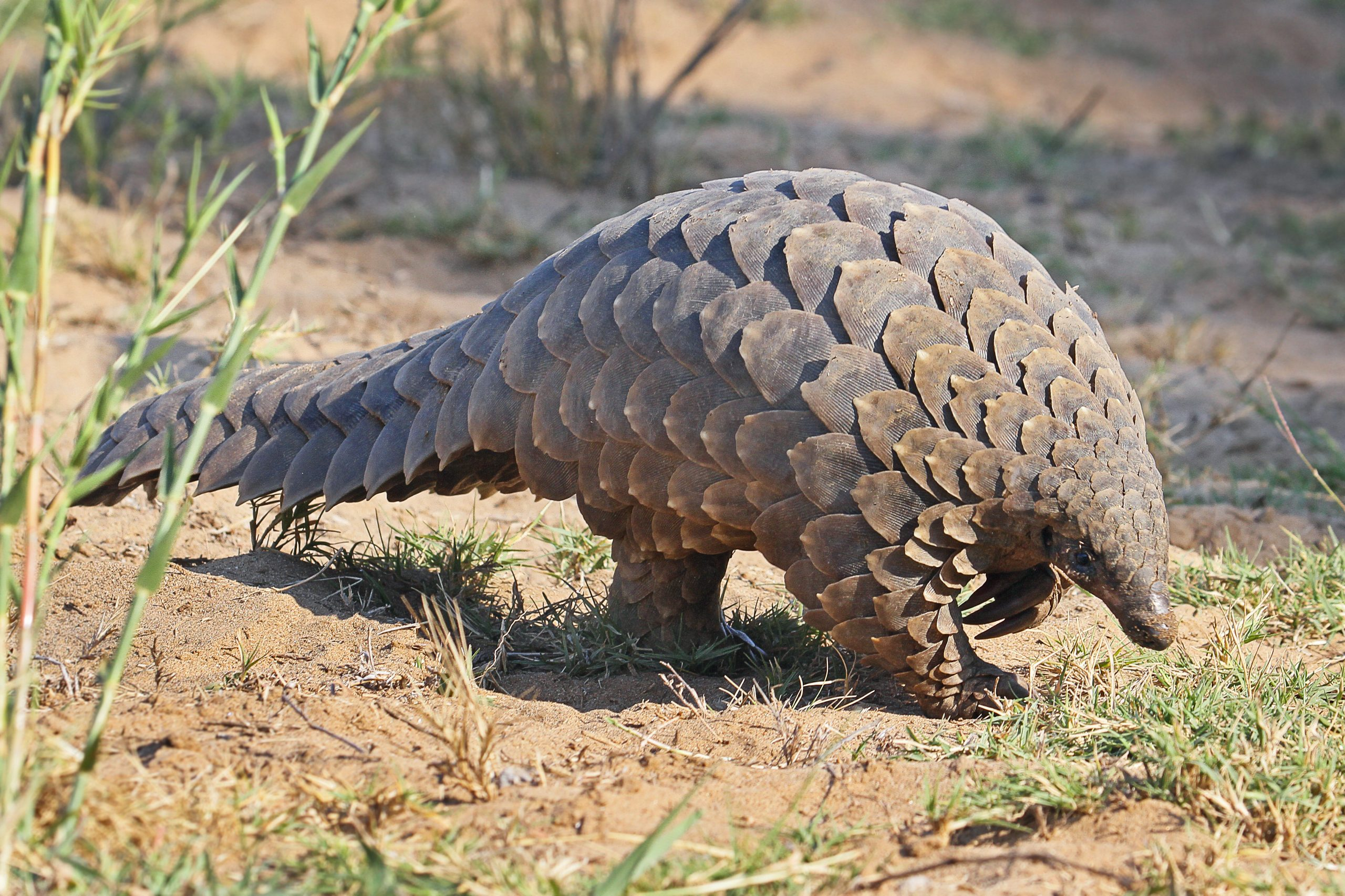 Pangolins Get a Break from Extinction Due to Coronavirus Fears