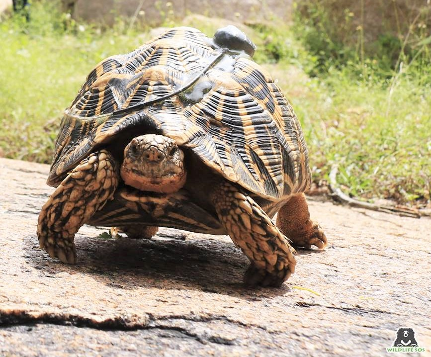Petition: 51 Endangered Star Tortoises Saved From Smugglers and Released in the Wild!