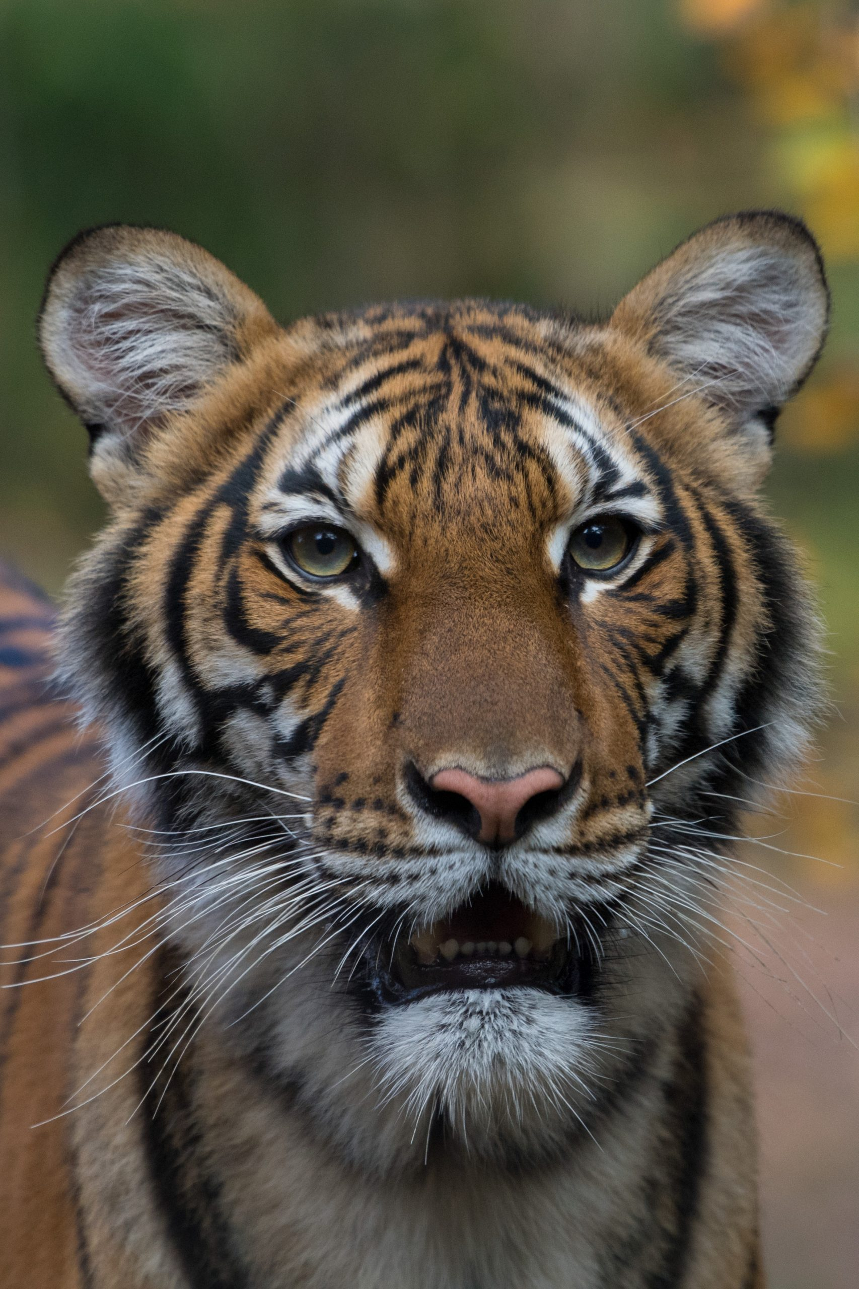 Petition: Tiger at the Bronx Zoo Tests Positive for Coronavirus