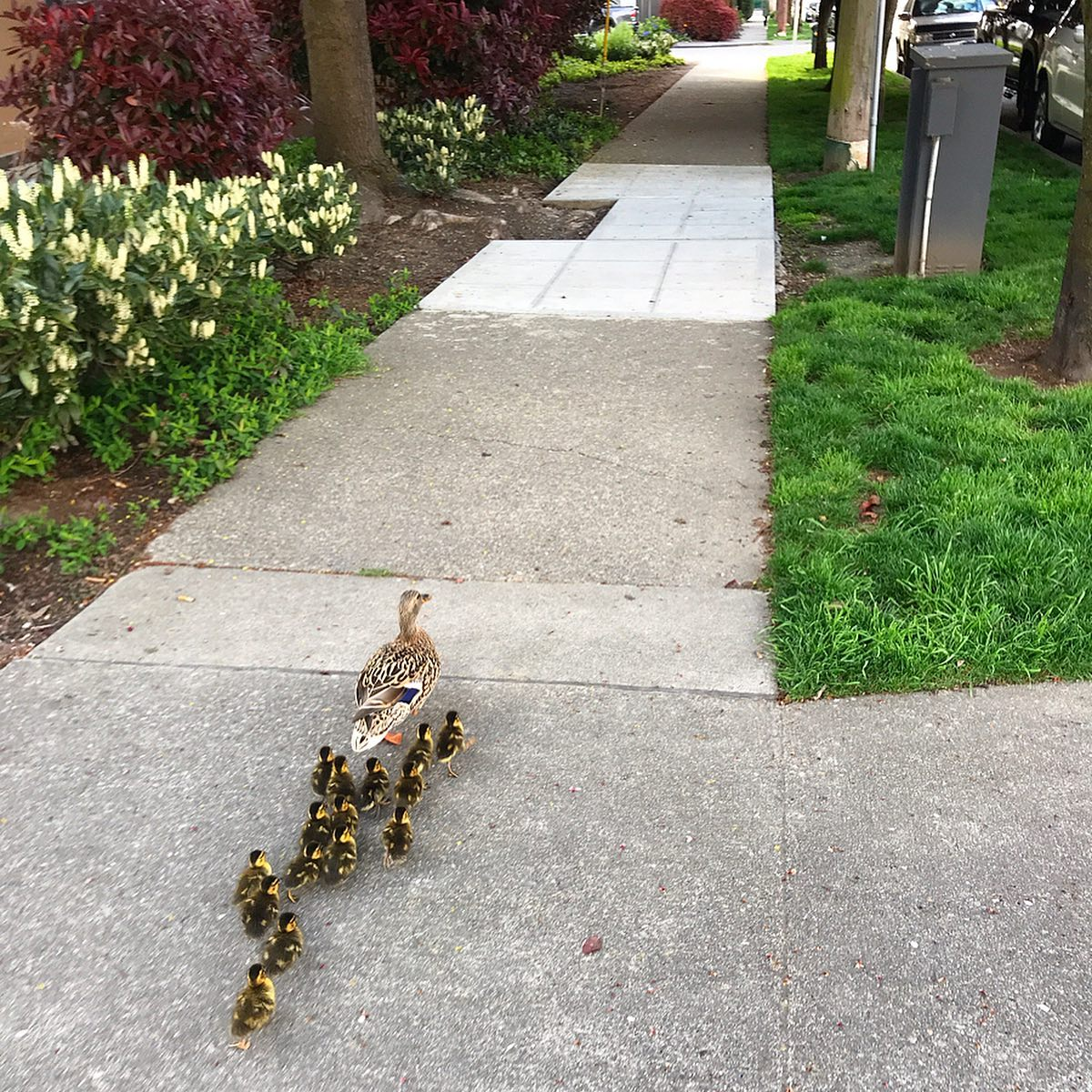 mama duck and her ducklings