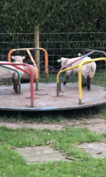 lambs playing in park
