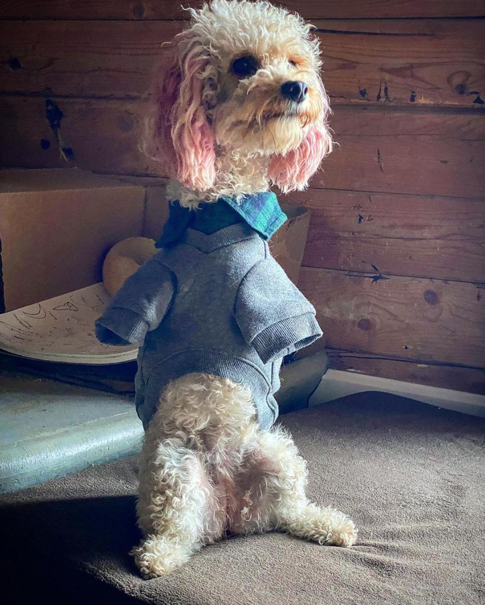 Cora the 2-legged poodle