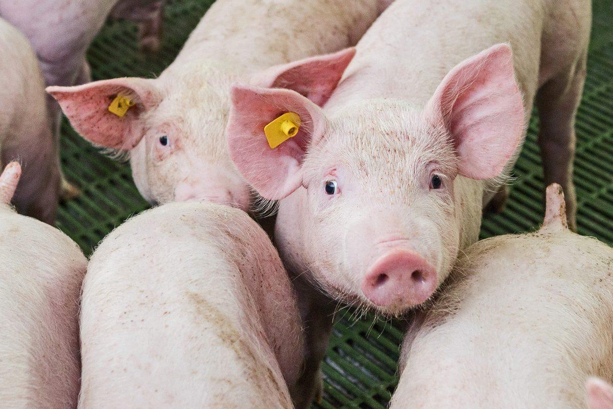 Pigs Farm