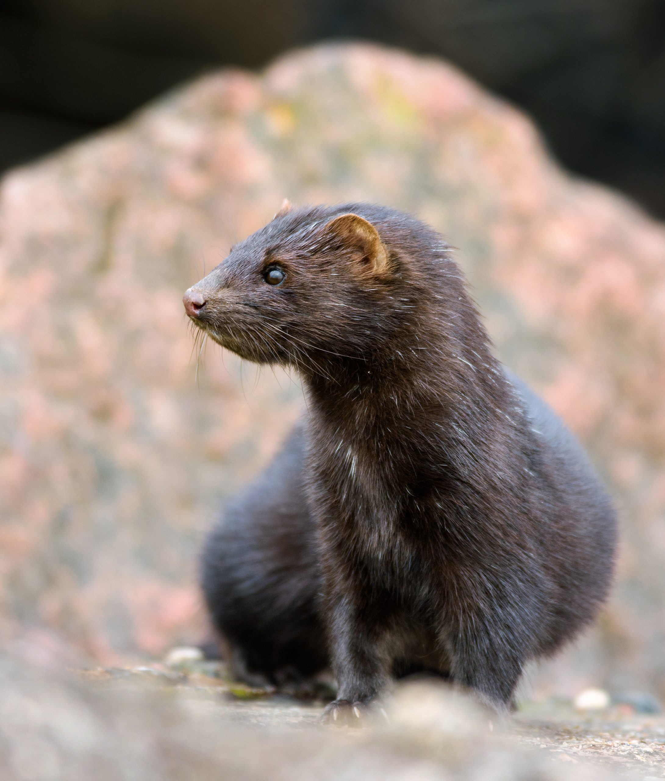 Petition: Mink on Fur Farms Tested Positive For Coronavirus