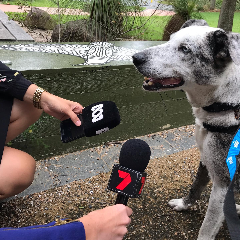 Bear, dog who rescues koala