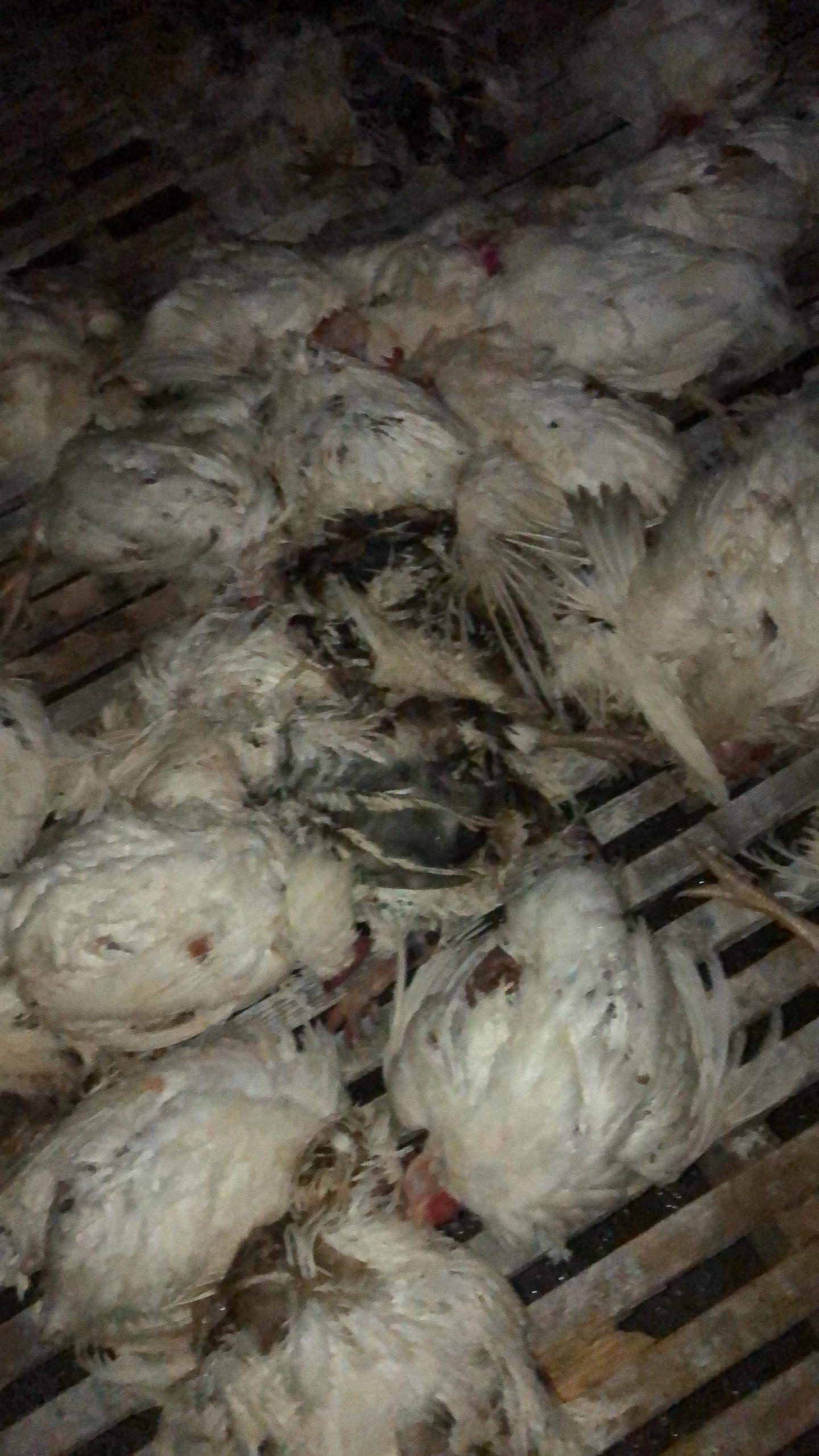 Chickens Bulldozed