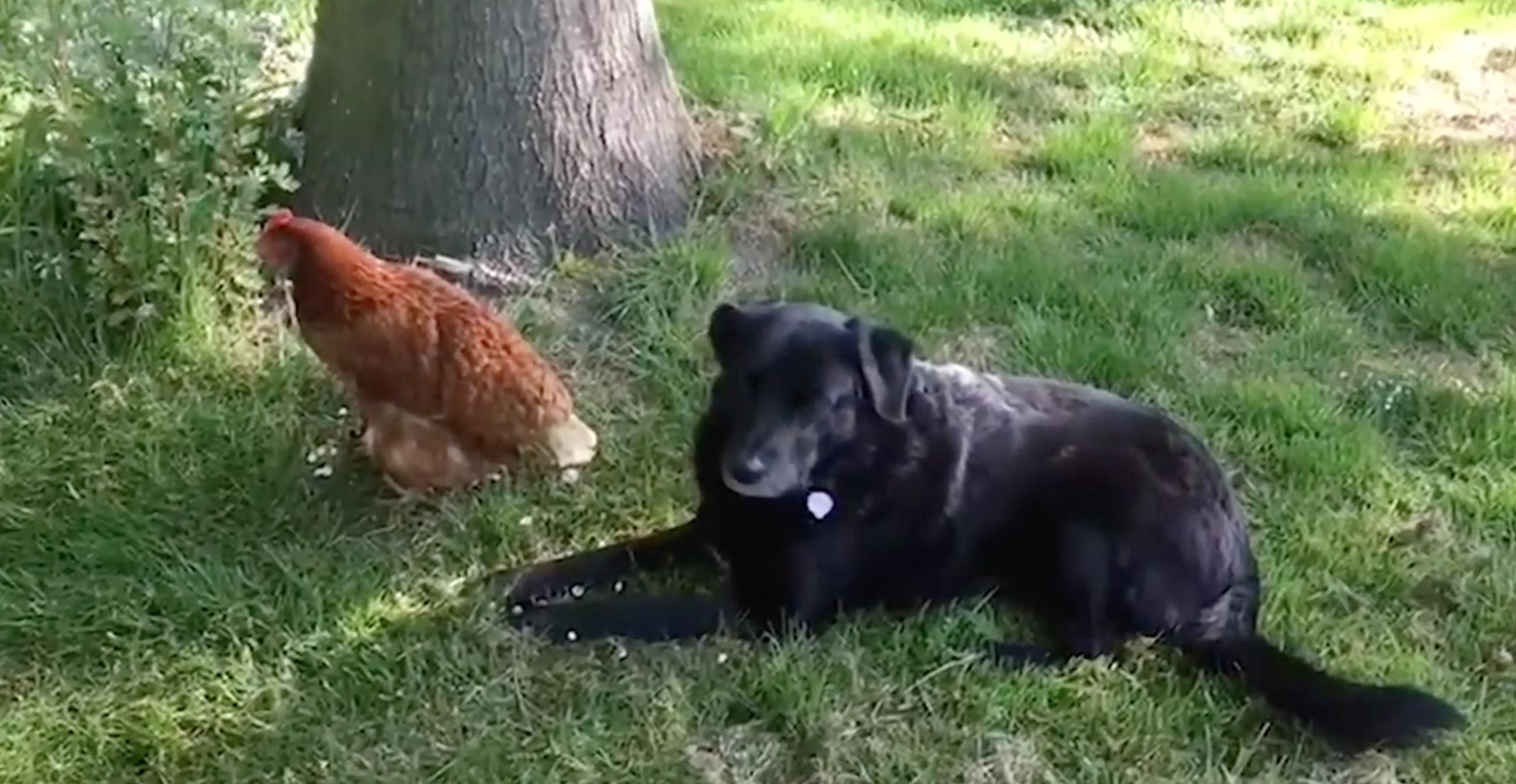 dog and hen best friends