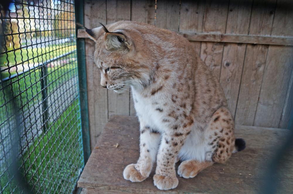 lynx in zoo