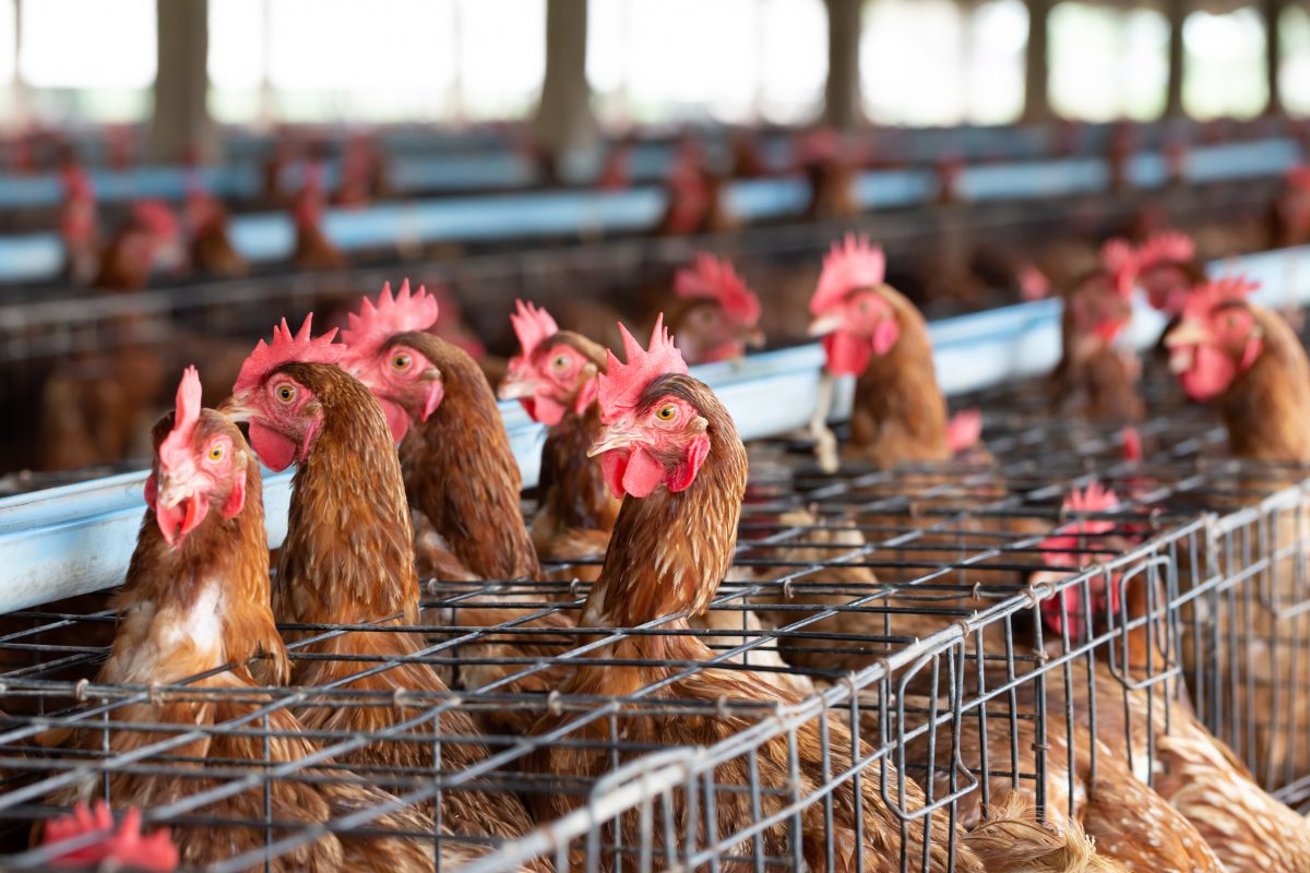 Woman Files Lawsuit Against Chicago Poultry Market after Hearing Animals Screaming and Crying