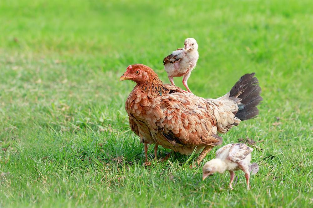 chicks with mom
