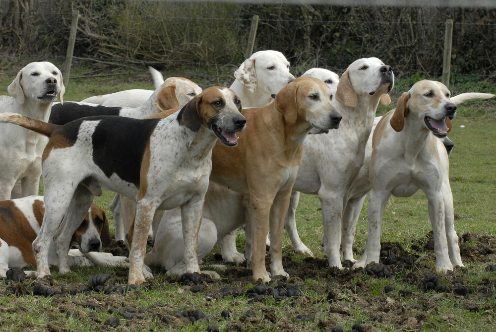 hounds used for hunting