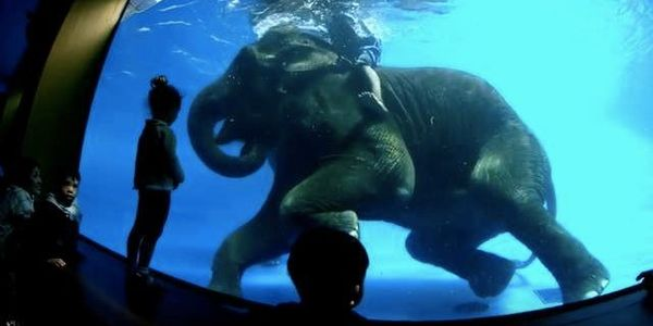 These Swimming Elephants Are Having Anything But Fun. Help Get Their Freedom.