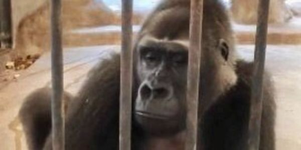 Petition: Help Free Gorilla Kept in Department Store Zoo for Thirty Years!