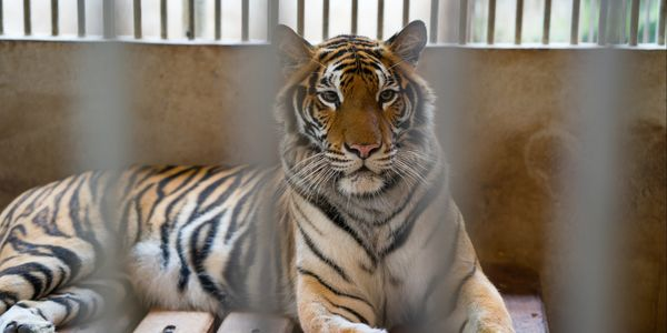 Petition: Demand Thailand Ban Tiger Captivity and Find Sanctuaries for All Captive Tigers