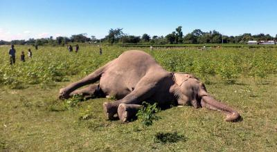 pregnant elephant killed