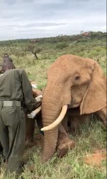 Reunited - After treating her calf, Vets reunite calf with mum