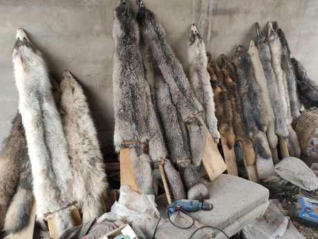 Raccoon dogs on fur farm in a country in Asia that supplies fur to UK and USA