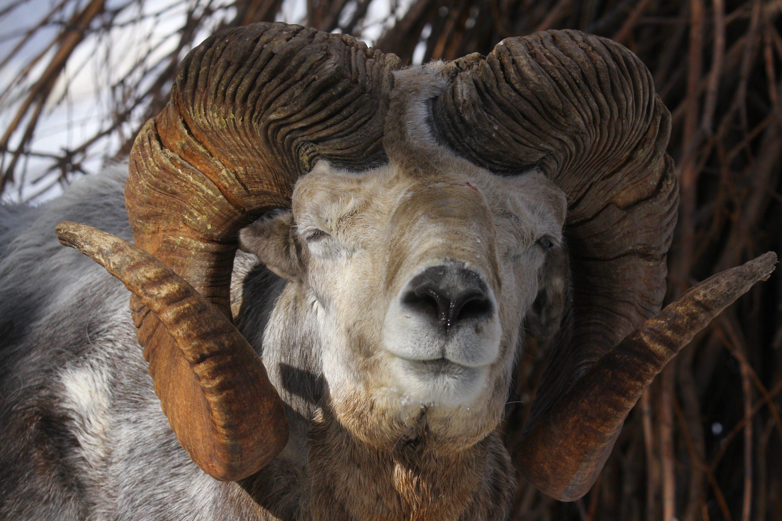 Mongolian Ram