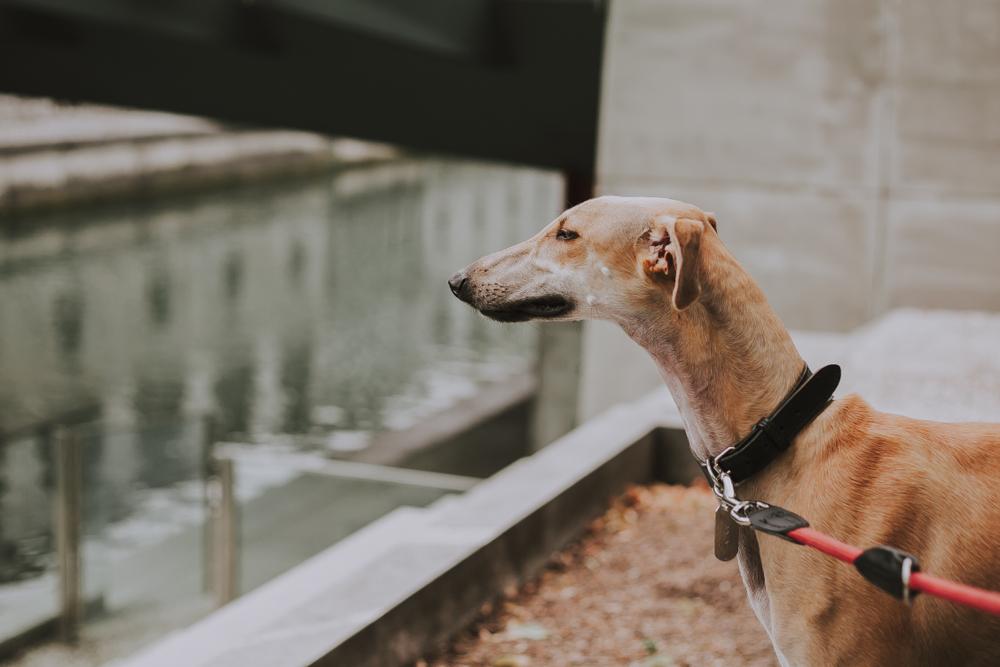 Spanish Sighthound