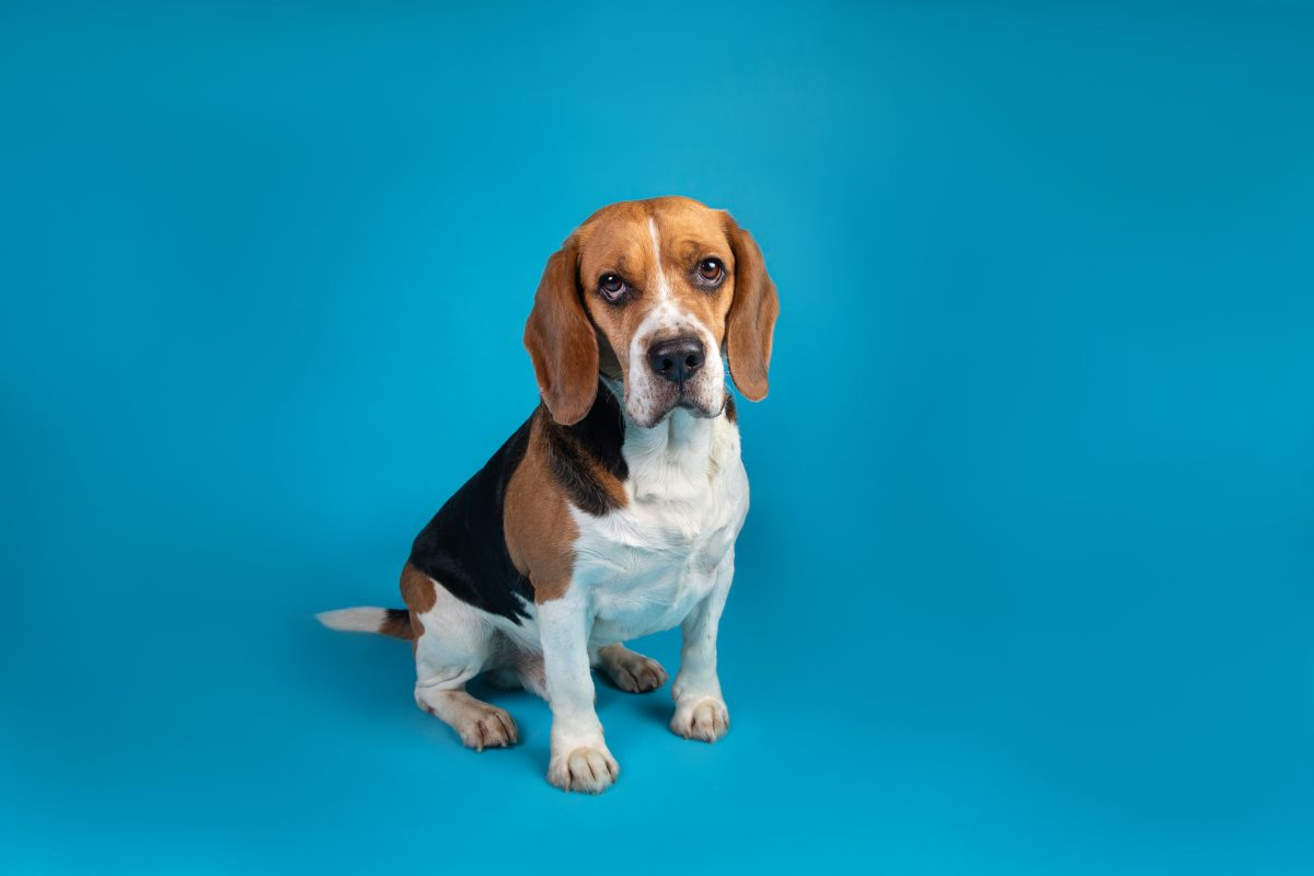 Dog Breeders are Selling Unwanted Puppies to Animal Testing Labs