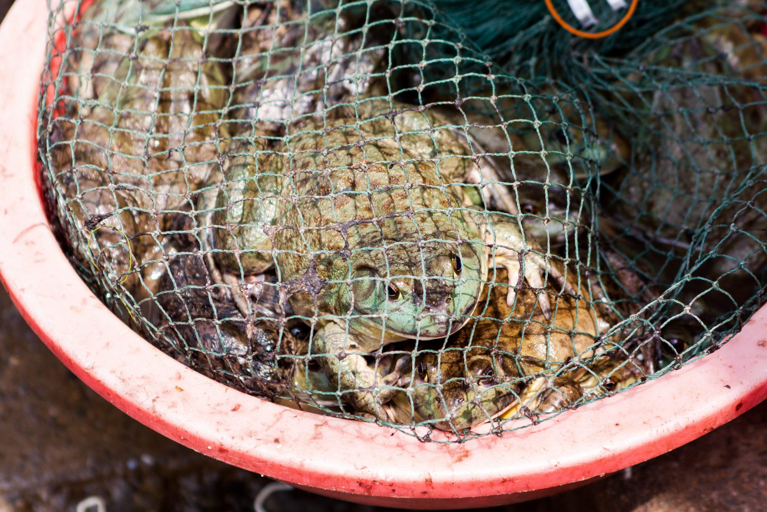 frog in wet market
