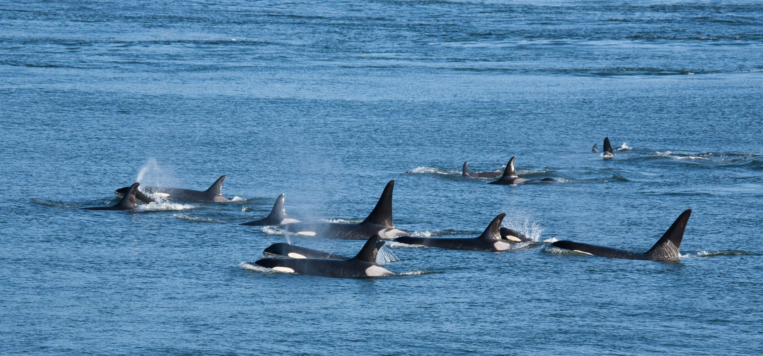 Pod of Orcas