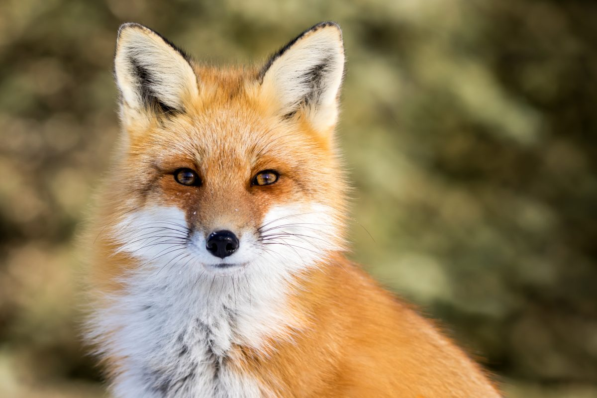 Petition: Ban Trapping Animals for Fur in the U.K.