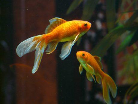 veiltail fish