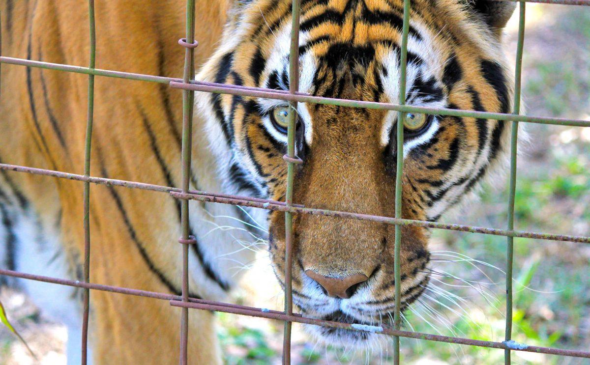 Caged Tiger.
