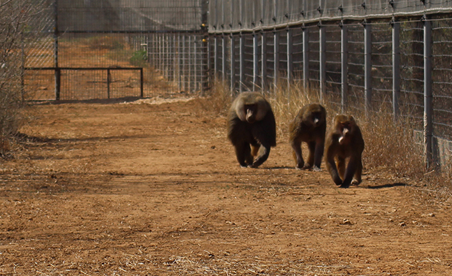 Baboons Marlin, Presley, and Violet and the Born Free USA Primate Sanctuary.