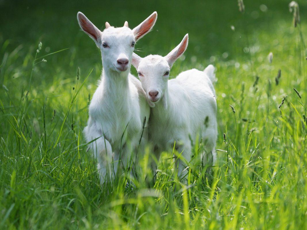goats in grass