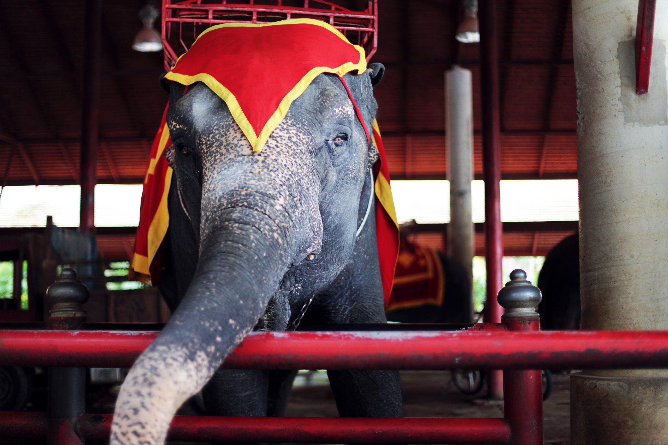 sad circus elephant